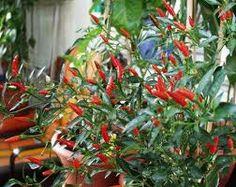Bildergebnis für paprika sorten