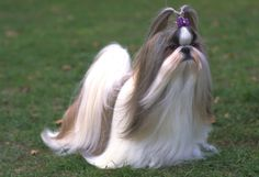 #Shih #Tzu: As the sole purpose of the Shih Tzu is companion and house pet, they are lively, alert, friendly and trusting towards all. Requires minimal exercise, but their long, luxurious coat needs daily brushing and maintenance.