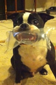 """Lifelong fear of plastic bags in 3....2....1...."" ~ Dog Shaming shame - Boston Terrier"