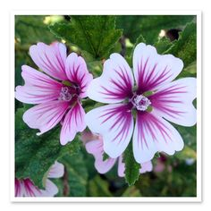 Malva Zebrina, Mallow  Colorful bowl-shaped pink flowers have striking raspberry-purple veins. A long bloomer that produces flowers from early summer until frost. An easy to grow plant that tolerates heat and drought.