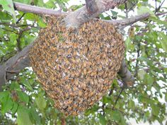 This probably only looks beautiful to fellow beekeepers. Please stay calm if you ever see this, and call a beekeeper rather than an exterminator to come and rescue them.  Bees are in their calmest state in a swarm since they have no home to defend yet.  Help save the bees, please! :-)