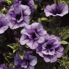 Proven Winners - Supertunia® Priscilla® - Petunia hybrid purple plant details, information and resources. Purple Petunias, Purple Plants, Lavender Flowers, Purple Flowers, Beautiful Flowers, Container Flowers, Container Plants, Succulent Containers, Landscaping Plants