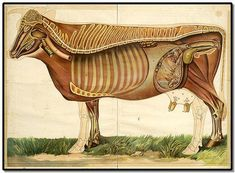 vintage animal science wall chart