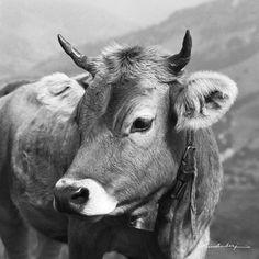 Nostalgische Tierbilder, Bergbilder und Landschaftsbilder. Kuh Resl auf Leinwand…