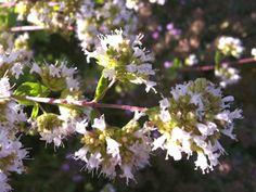 Greek Oregano in Bloom (image copyright Garden Mentors inc via gardenhelp.org)