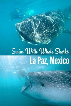 Swim with wondrous whale sharks in La Paz, Mexico! I think that it would be cool to swim next to these whale sharks. but I think I would maybe have to be thrown into the water to get in, I would love to do it but need a little push.