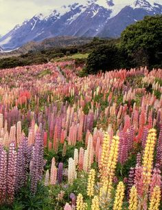 Wild lupines in Mount Cook National Park, New Zealand