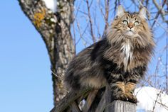 The Scandinavian feline's history can be traced back to the Vikings.  10 Furry Facts About Norwegian Forest Cats