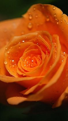 Orange Rose #flowers