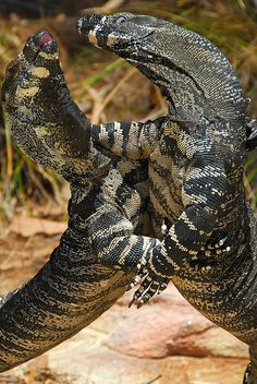 Two Australian goannas wrestle on the beach - we have one of these living in the bush nearby.