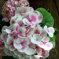 Cityline Mars® Hydrangea macrophylla - Long Lasting Blooms - Proven Winners