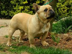 For sale: French Bulldog - Male /  Key Boy