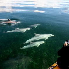Your tour of a lifetime where you are guaranteed to see Dolphins! Swim with dolphins if you choose. See seal colonies, whales, sea eagles + more. Kangaroo Island, South Australia, Whales, Dolphins, Swimming, Tours, Explore, Adventure, Baleen Whales