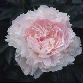 """Hargrove Hudson  (Wild, 1949) Double, Pink, 34"""" – 36"""", Early Midseason    Very large, full petaled light pink. The outer petals are a shade darker than the center. Form and texture is outstanding. Good stems and habit. Fragrant."""