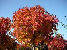 Bestel Liquidambar st. 'Gum Ball' - Bol amberboom voordelig bij Plantenweelde