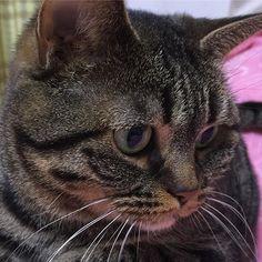 【yocomosa】さんのInstagramをピンしています。 《#甘えたいにゃん #明日は休み #にゃにゃにゃにゃ #お出迎え #あまえんぼう #cat #寝子 #猫 #ねこ #ネコ #きじとら #キジトラ #ブラウンタビー #ぺっちゃんこ #かわいい #癒し #大好き #桜》