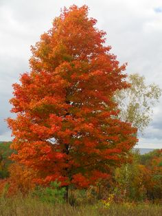 Fire Red Maple