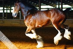 Clydesdales are just beautiful