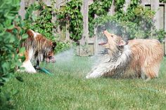 This Dogs vs. Sprinkler Series Will Leave You Short of Breath #cutepets #animalphotography