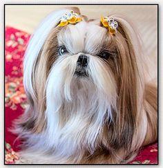 """Shih Tzu-""""Winnie the Tzu"""""""