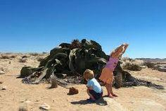 「Welwitschia mirabilis namibia」の画像検索結果