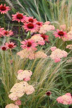 Achillea millefolium Wesersandstein , Echinacea and Stipa tenuissima Flower Garden, Plants, Cottage Garden, Echinacea, Most Beautiful Gardens, Plant Combinations, Beautiful Flowers, Perennials, Garden Planning
