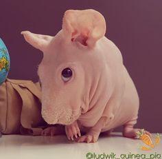Pet Guinea Pigs, Pet Pigs, Animals And Pets, Baby Animals, Hairless Animals, Guinea Pig Clothes, Gato Animal, Skinny Pig, Guniea Pig