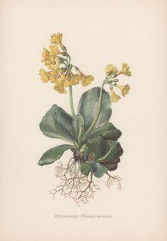 Botanical Print Primula auricula Auricula by AntiquePrintGarden