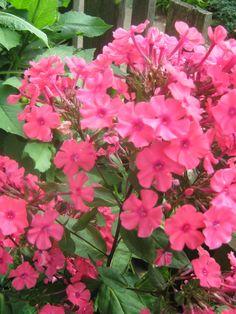 Hot Pink Phlox