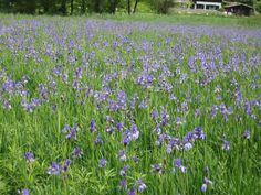 "Muitas ""Iris"" Plants, Spring, Flowers, Flora, Plant"