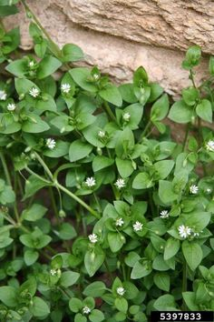 Chickweed Great source of vitamins A, D, B complex and C. It's also packed with…