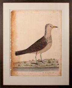 Eleazar Albin Bird 3   Natural Curiosities