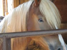 DeJango one of the hafflingers we rescued from the kill pen 2 years ago.Now living out his life at our facility  www.bluehorsemukwa.org