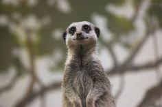 https://flic.kr/p/qwXXfz | Meerkat - Bristol Zoo | September 2013