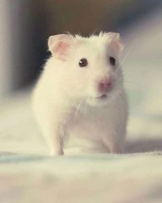 Hamster Mobile Wallpaper - ID 15035 Hamster Life, Baby Hamster, Animals And Pets, Baby Animals, Cute Animals, What Is Cute, Syrian Hamster, Cute Hamsters, Ferrets