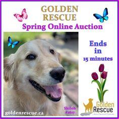 Golden Events, Shiloh, Rescue Dogs, Auction