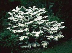 Shasta Viburnum Shrubs   Viburnum plicatum f. tomentosum 'Shasta' from Classic Viburnums