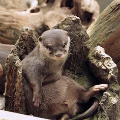 A hollow tree stump makes a good seat for an otter - January 26, 2015