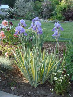 Variegated Sweet Iris (Iris pallida 'Zebra') in the Irises Database - Garden.org