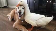A feisty duck has chosen a pretty unusual best friend - a loving golden retriever. Proud duck owner Pam Ishiguro has a flock of seven ducks but her four-year-old Pekin duck Rudy and golden retriever Barclay have formed the strongest bond.