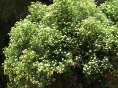 Elderberry, Mexican Elderberry, Western Elderberry tree in flower Nitrogen Fixing Plants, Compost Mulch, Yoga Garden, California Native Garden, Hummingbird Plants, Shade Trees, Farm Gardens, Edible Garden, Plants