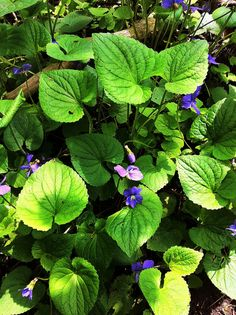Foraging the Blue Violet