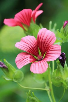 pink and red flower