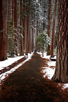 Snowy Day ~ The Redwoods, California