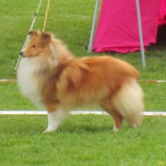 """Sheltie Club Show, Sorø, DK, 9/5 2015 - judge Joanna Adamowska, PL, 60 entries J.Ch.Lux. Lovesome SURPRISE """"Chica"""" -  11 month,   owner Lone Pedersen and Anna Larsen: BOB-junior and 2nd best bitch with Club CAC-J and RES. CAC"""
