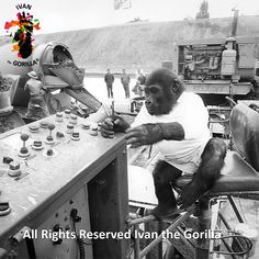 Ivan the Gorilla® at the controls during construction of I-5 circa 1964 near the present-day Tacoma Dome