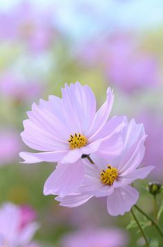shape of the universe cosmos Cosmos Flowers, Pastel Flowers, Flowers Nature, Pastel Colors, Pretty Flowers, Wild Flowers, Colours, Blossom Garden, Design Floral