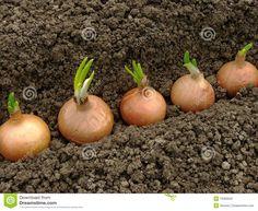 Como plantar bulbos de cebola