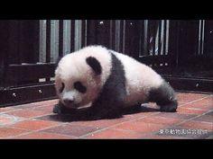 Three Panda Babies at Chengdu 2013 December   大熊猫  パンダ - YouTube