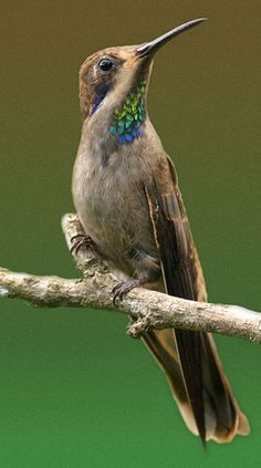 Brown Violetear is a large hummingbird that is found in Central America, and western and northern South America